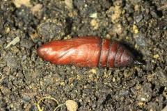 Proserpinus proserpina chrysalide France LeRoc Laplume (47) © Jean Haxaire