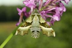 Proserpinus proserpina imago male RepTchèque © Jean Haxaire