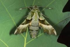 Proserpinus proserpina imago male, France, Laplume  (47) © Jean Haxaire