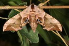Smerinthus ocellata abOvo imago femelle Garidech© Jean Haxaire
