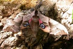 Smerinthus ocellata imago femelle France Laplume © Jean Haxaire