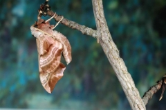 Smerinthus ocellata imago male France Garidech © Jean Haxaire