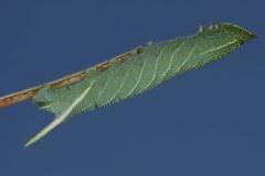 Smerinthus ocellata chenille L3 France Aubiac (47) © Jean Haxaire