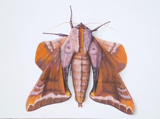 Mâle de Paonias astylus (Drury, 1773) © Deborah Davis