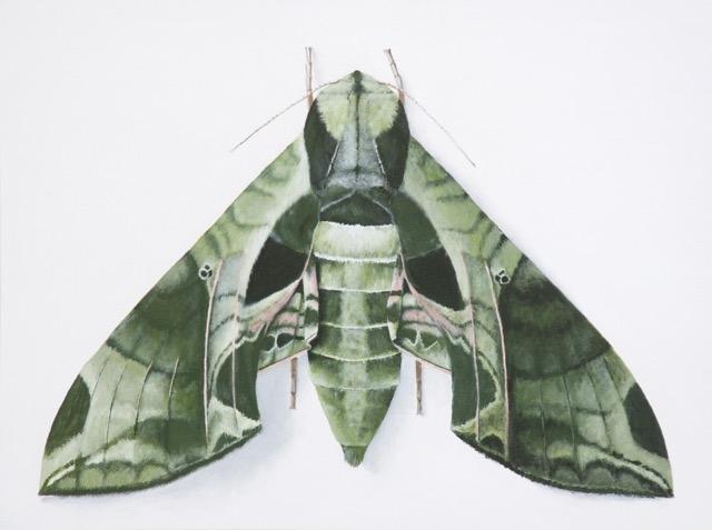 Eumorpha pandorus (Hübner, [1821]) © Deborah Davis