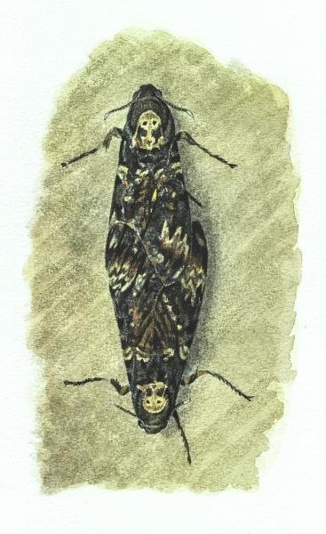 Acherontia atropos vu par Pierre Baumgart