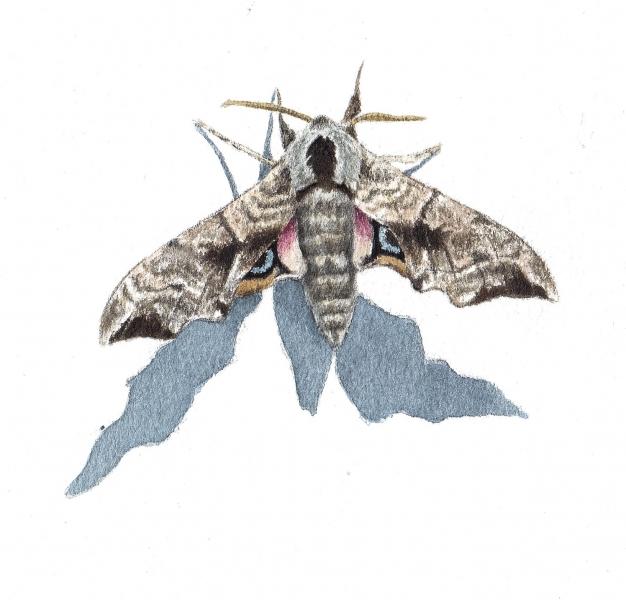 Smerinthus ocellata vu par Pierre Baumgart