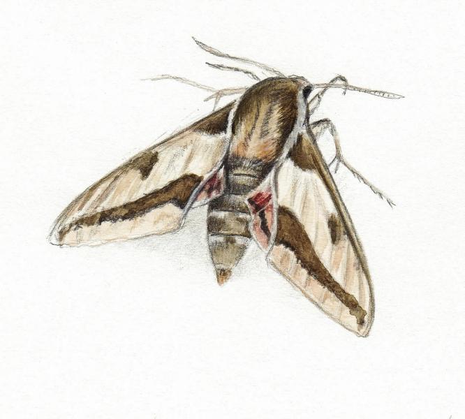 Hyles euphorbiae vu par Pierre Baumgart