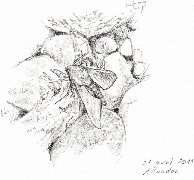 Deilephila elpenor vu par Pierre Baumgart
