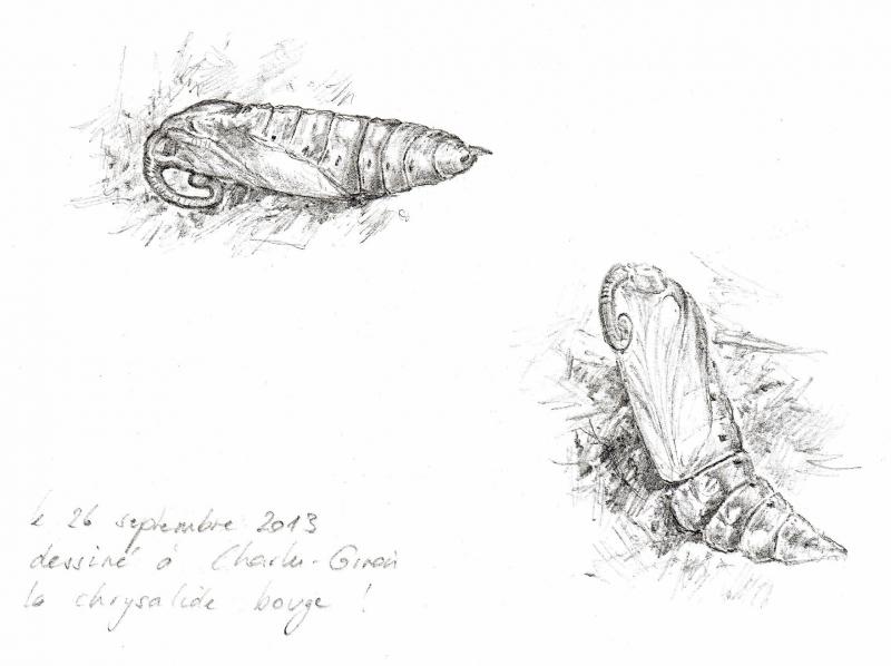 Agrius convolvuli vu par Pierre Baumgart1