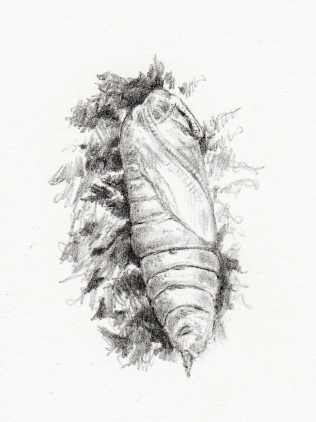 Sphinx ligustri vu par Pierre Baumgart