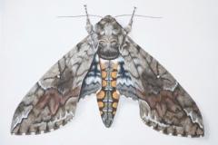 Manduca s. sexta (Linnaeus, 1763) © Deborah Davis