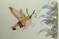 Hemaris fuciformis dessiné par Coline Haxaire