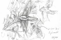 Agrius convolvuli vu par Pierre Baumgart