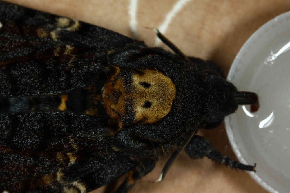 papillon lépidoptère lepidoptera sphingidae sphinx sphinginae