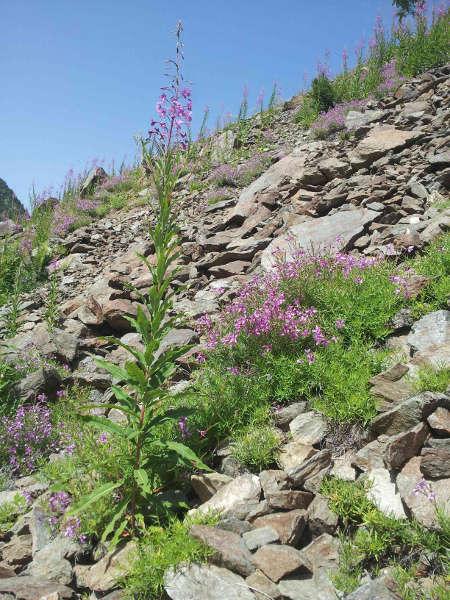 Hyles vespertilio habitat l'Alpes d'Huez 38 France