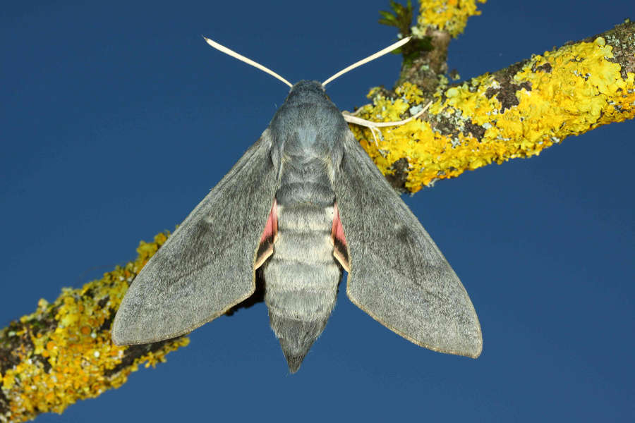 Hyles vespertilio  imago femelle L'Alpes d'Huez 38 France