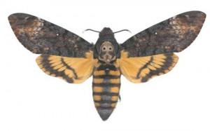 Acherontia atropos mâle