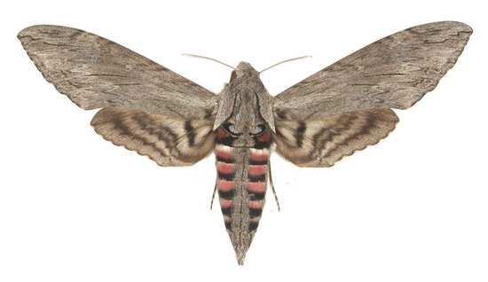 Agrius convolvuli femelle