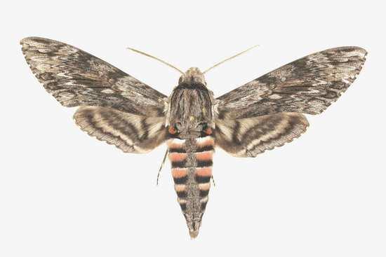 Agrius convolvuli mâle