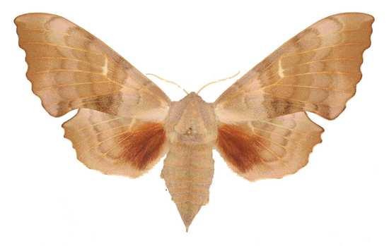 Laothoe populi femelle