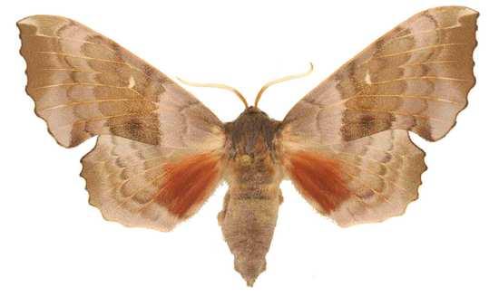 Laothoe populi mâle