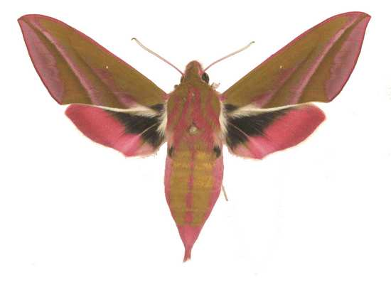 Deilephila elpenor femelle