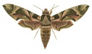 Daphnis nerii femelle