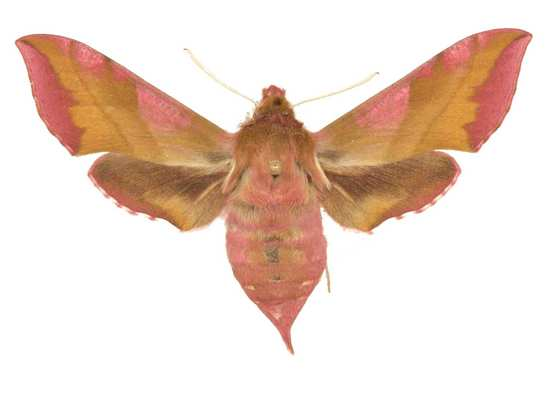 Deilephila porcellus femelle