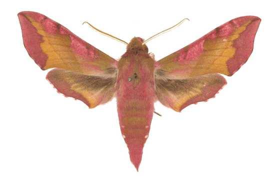 Papillon lépidoptère leidoptera sphingidae sphinx macroglossinae