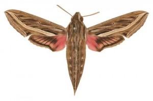 Hippotion celerio femelle