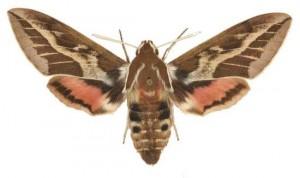 Hyles dahlii femelle