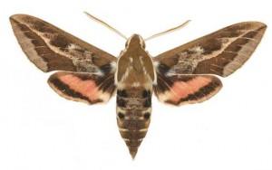 Hyles dahlii mâle