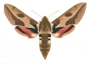 Hyles euphorbiae femelle