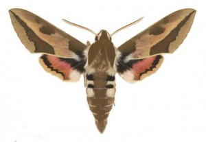 Hyles euphorbiae mâle