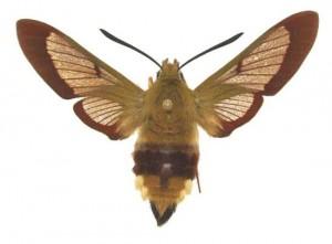 Hémaris fuciformis femelle