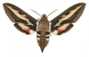 Hyles galli femelle