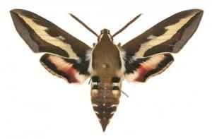 Hyles gallii mâle