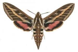 Hyles livornica femelle