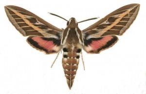 Hyles livornica mâle