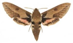 Hyles nicaea femelle