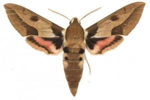 Hyles nicaea mâle