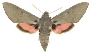 Hyles vespertilio femelle