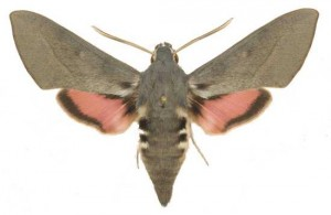 Hyles vespertilio mâle