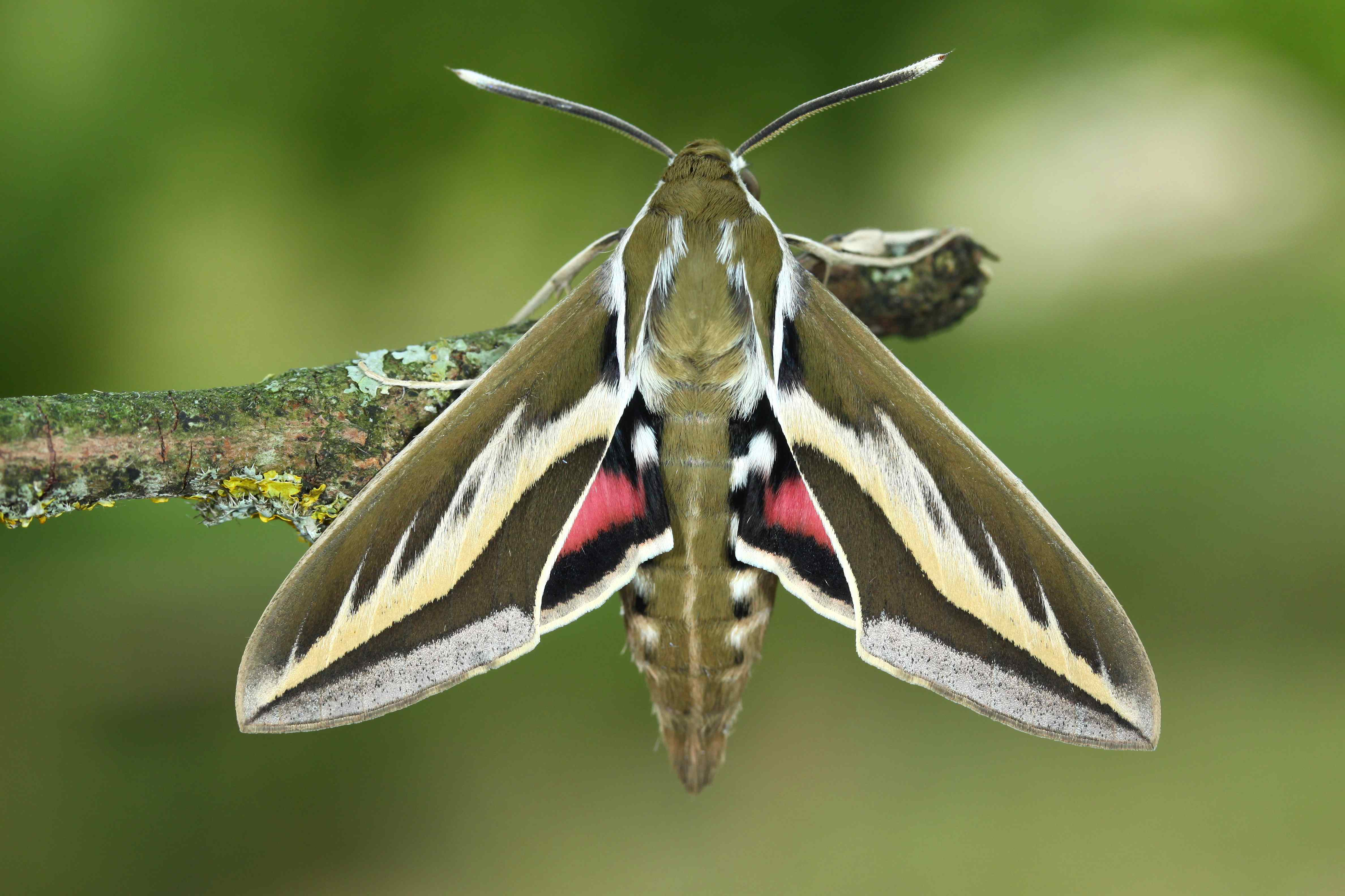 Hyles euphorbiarum Argentina