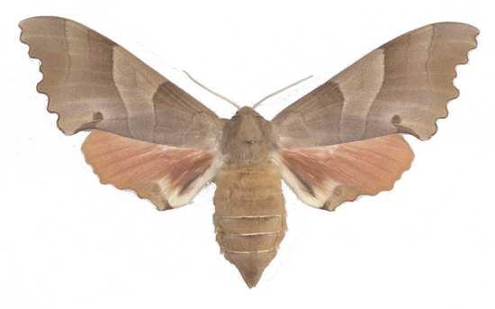 Marumba quercus femelle