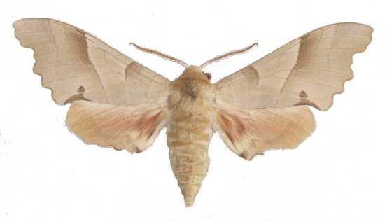 Marumba quercus mâle clair