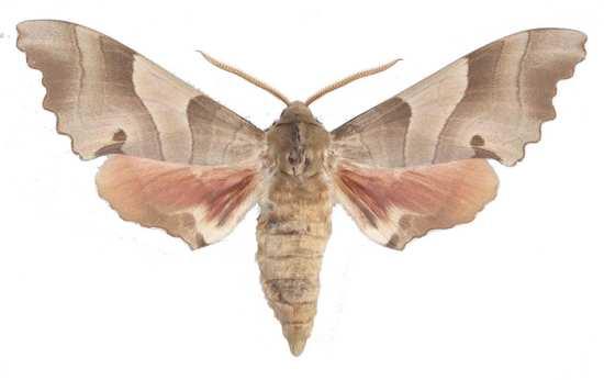Marumba quercus mâle sombre