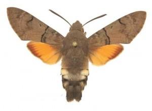 Macroglossum stellatarum femelle