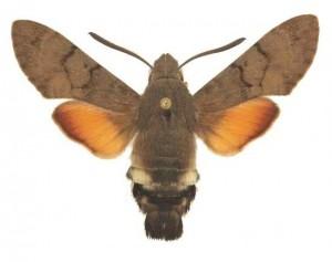Macroglossum stellatarum mâle